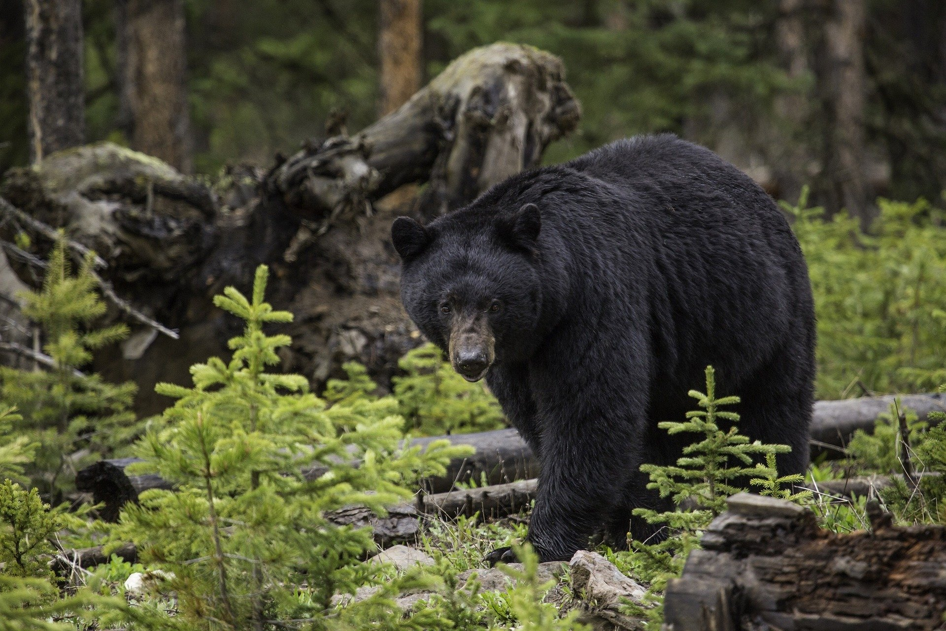 Permanent spring black bear hunt would orphan cubs, animal rights advocates warn